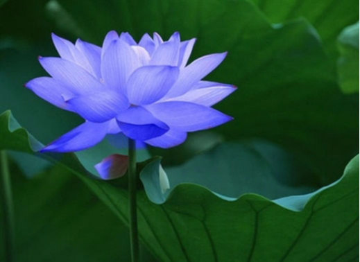 Buddhist Symbols Lotus Flowers Whats The Meaning Of The
